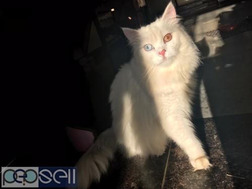 PERSIAN CAT ( RARE ) 3
