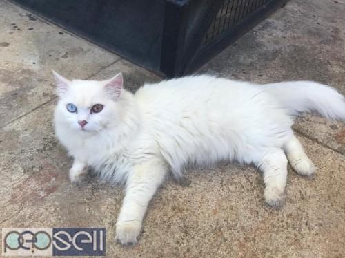 PERSIAN CAT ( RARE ) 4