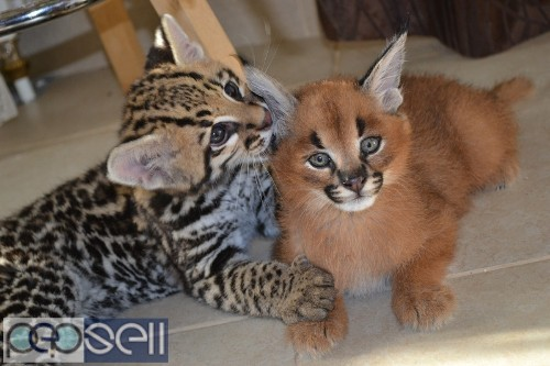 Ocelot and Caracal Kittens. 0