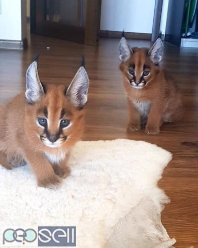 Ocelot and Caracal Kittens. 1