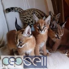 Ocelot and Caracal Kittens. 2