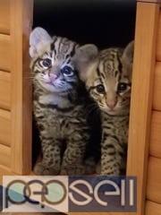 Ocelot and Caracal Kittens. 3