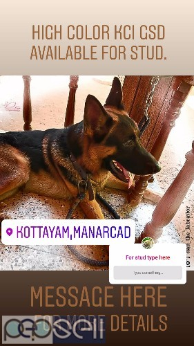Kci Short Coat Gsd Available For Stud At Kottayam Kottayam Free Classifieds