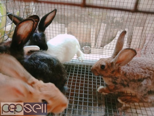 Healthy Rabbits for sale 0