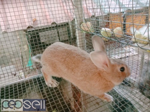 Healthy Rabbits for sale 3