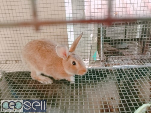 Healthy Rabbits for sale 4