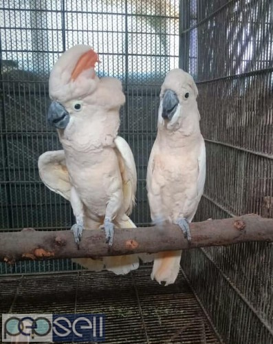 We have healthy Cockatoo chicks and breeder pairs for sale 2