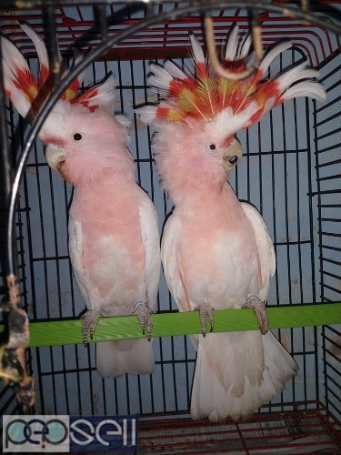 We have healthy Cockatoo chicks and breeder pairs for sale 5