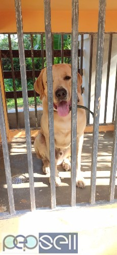 Labrador 1 year old dog for sale 0