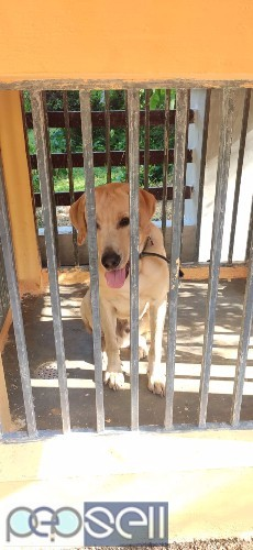 Labrador 1 year old dog for sale 1