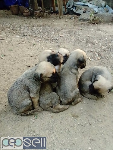 Bull mastiff puppy for sale at .n.paravur 2