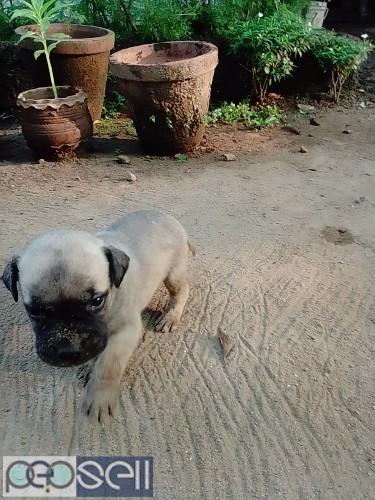 Bull mastiff puppy for sale at .n.paravur 3