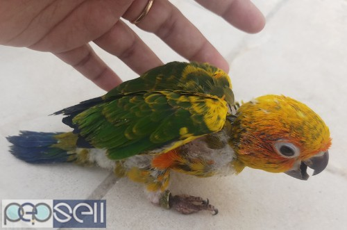 Sunconure yellow dominant chick available at low cost Chennai 0
