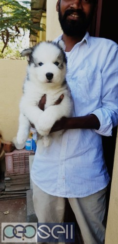 Husky puppies​ AVAILABLE In Tripura With KCI Paper 1
