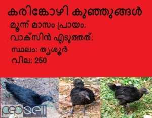 കരിങ്കോഴി കുഞ്ഞുങ്ങൾ വില്പനയ്ക്ക്. Kadaknath / Karinkozhi chicks for sale
