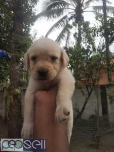 LAB MALE PUPPIES AVAILABLE