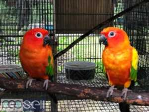 healthy sun conure Parrots  breeder pairs and chicks and eggs for sale whatsapp us