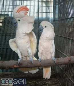 We have healthy Cockatoo chicks and breeder pairs for sale