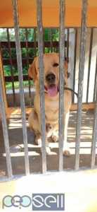 Labrador 1 year old dog for sale