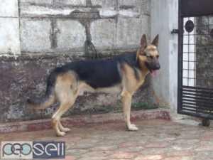 Female German Shepherd dogs - 60 days old
