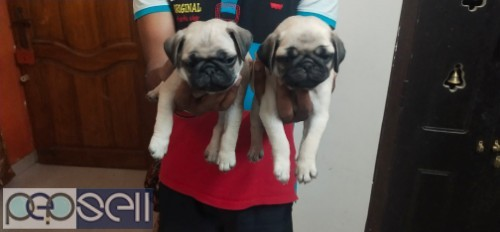 Pug puppies for sale 0