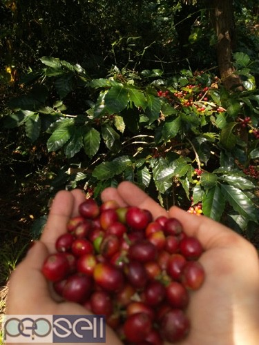 Coffee estate for sale with furtive soil 3