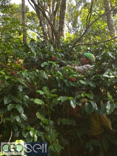 Coffee estate for sale with furtive soil 4