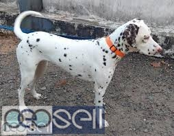2 Year Old Female Dalmatian for sale  1