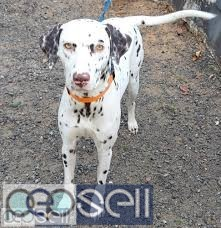2 Year Old Female Dalmatian for sale  2