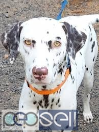 2 Year Old Female Dalmatian for sale  3
