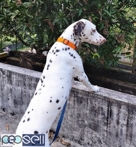 2 Year Old Female Dalmatian for sale  4