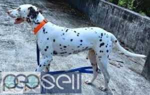 2 Year Old Female Dalmatian for sale