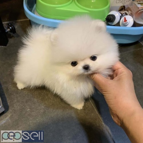 Awesome Teacup pomeranian puppies ready now 0