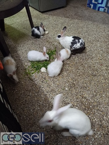 Adult rabbit pair available for new home 3