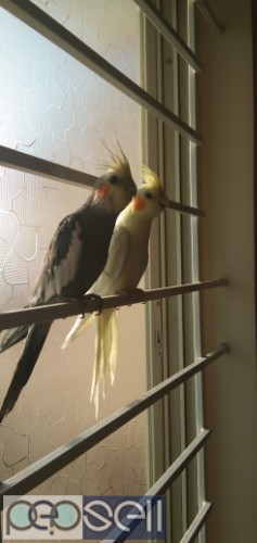 Cockateil for sale 3,200 for pair 0