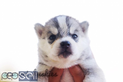 BLUE EYES HUSKY PUPPIES AVAILABLE 1