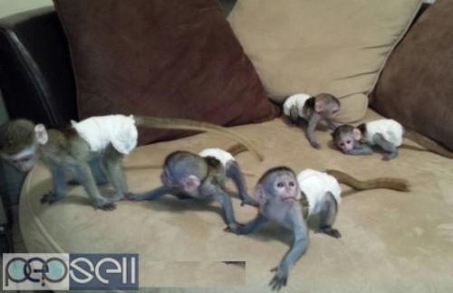 Monkeys for adoption massage (940) 301-0329   0