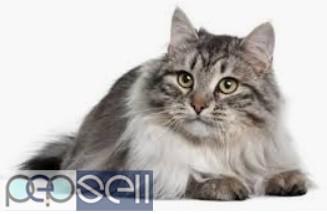 Siberian kittens for sale  0