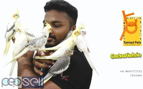 Fully tamed Cockatiels for sale in Chennai 0