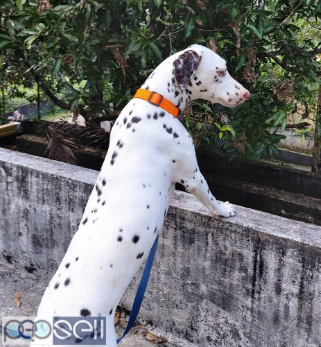 Female Dalmation for sale (1.5 years old) 3