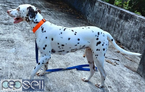 Female Dalmation for sale (1.5 years old) 4