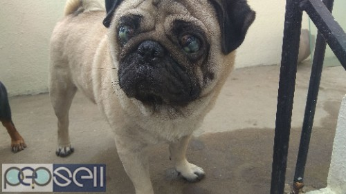 Pug for mating in chennai Velachery 0