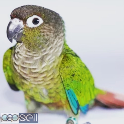 Green cheek conure tammed for sale  0