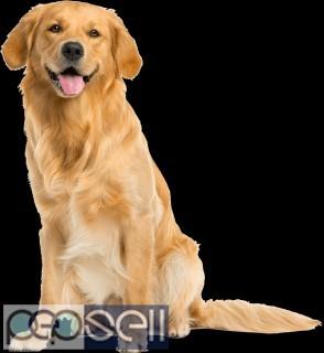 Golden retriever puppies for sale in chennai 0