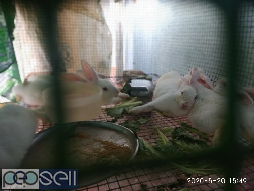 Four rabbits(two and a half months old) for sale. 0