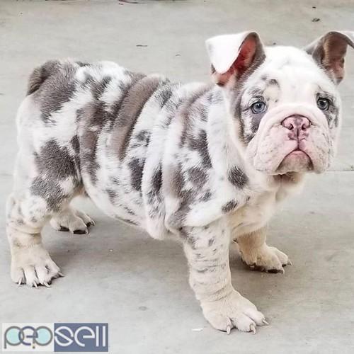English bulldog puppies for sale 5