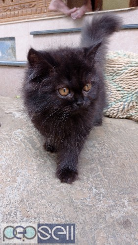 Persian male cat 0