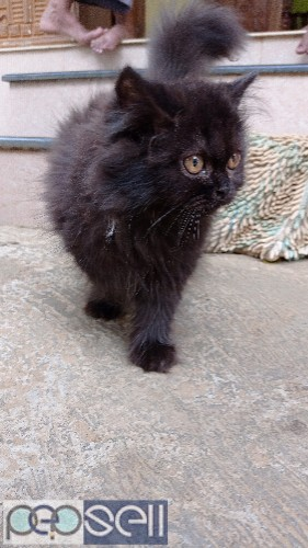 Persian male cat 1
