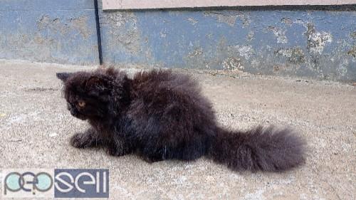 Persian male cat 2