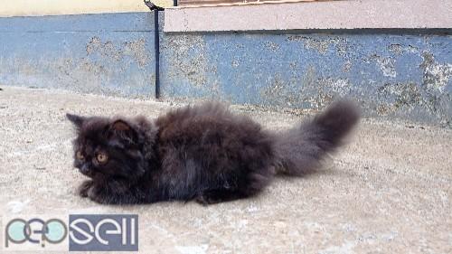Persian male cat 4